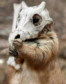 松鼠的头盔