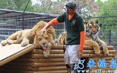 原来大猫们也会卖萌哦!看内只狮纸吐舌头的赖样儿,多欠抽啊!
