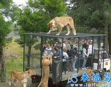 去個動物園還被獅子給參觀了