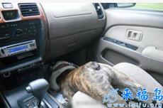急剎車的時候沒有系安全帶……