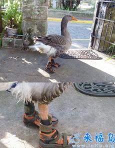 穿着拖鞋的鸭子,潮爆了!
