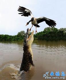 这鳄鱼估计饿了不少天了