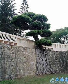 最顽强的树