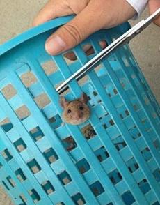 好呆萌的老鼠,被垃圾桶卡住了