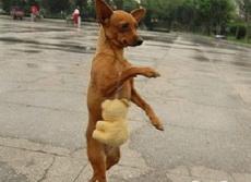 这是一只爱逛街的贵妇犬
