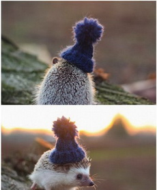 妹子为刺猬织了帽子,萌值瞬间爆表