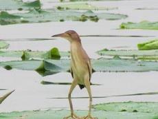 """無聊時你就看看這種怪鳥""""黃葦鳽"""",包你一秒被逗樂,堪稱史上最丑的長腿歐巴"""