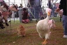 家禽界的维密秀