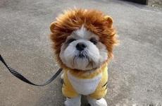 狮子不发威,你当我是小汪吗