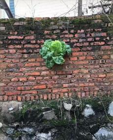春色满园关不住,一颗白菜出墙来