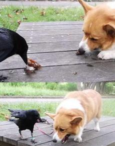 遇到一只非常热心的乌鸦,叼来虫子分给狗狗吃,然而狗狗被迫吃完后是崩溃的