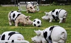 国猪们在踢球