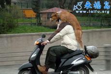 馬路上很彪悍的狗狗