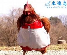 Funny chicken shorts.