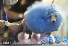 小狗可爱的发型