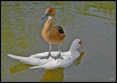 霸氣外露的鴨子