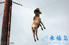 这只羊是怎么上去的?