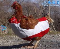 Gallo con ropa