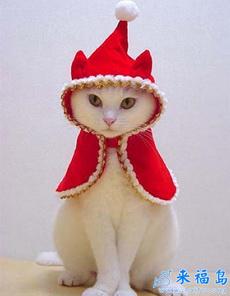 过圣诞节的猫猫