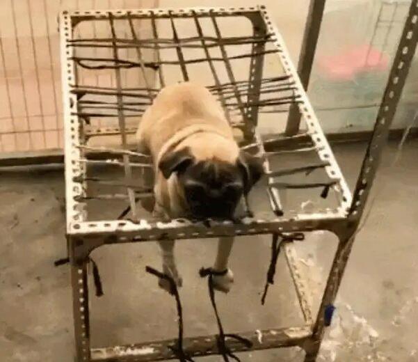 狗狗不肯输液,一进宠物医院就被绑了[动物图片]